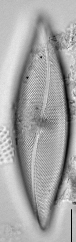 Pleurosigma inflatum LM5