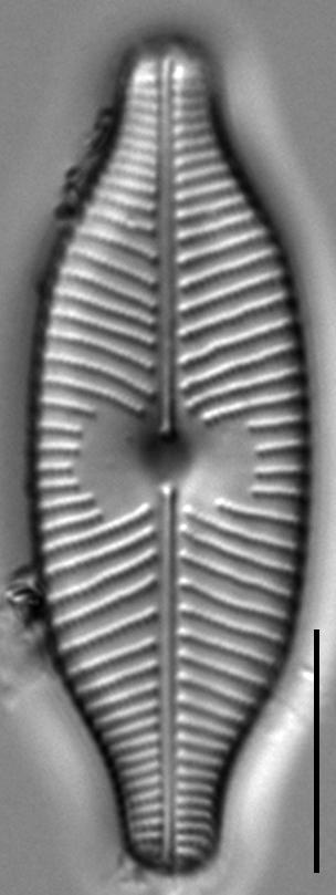 Placoneis explanata LM10