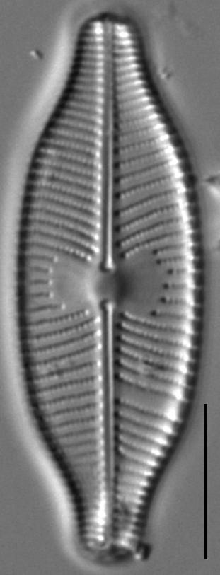 Placoneis explanata LM8