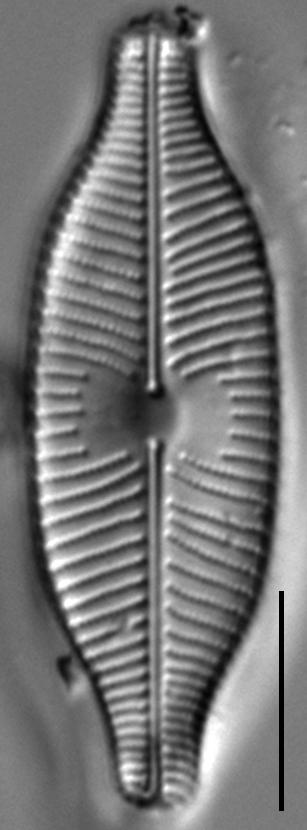 Placoneis explanata LM6