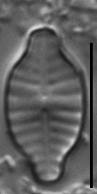 Planothidium rostratoholarcticum LM4