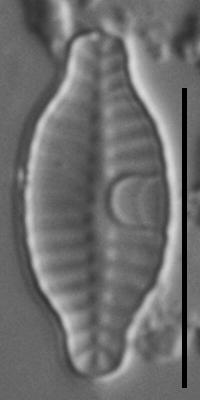 Planothidium rostratoholarcticum LM3