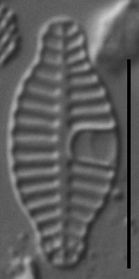 Planothidium rostratoholarcticum LM2