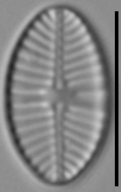 Planothidium joursacense LM5