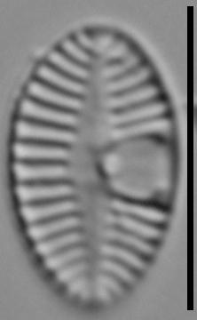 Planothidium joursacense LM3