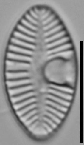 Planothidium joursacense LM2