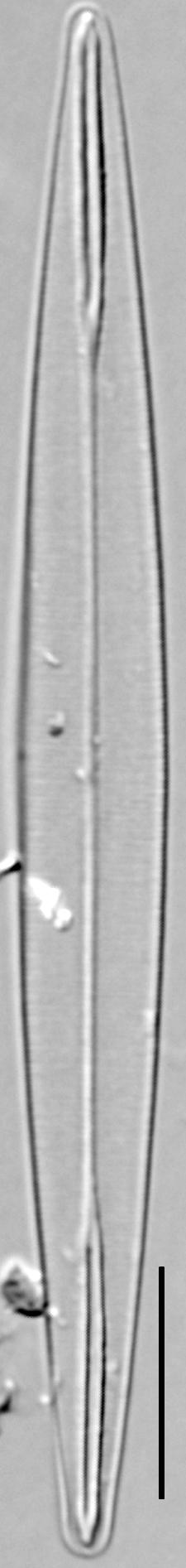Amphipleura pellucida LM4