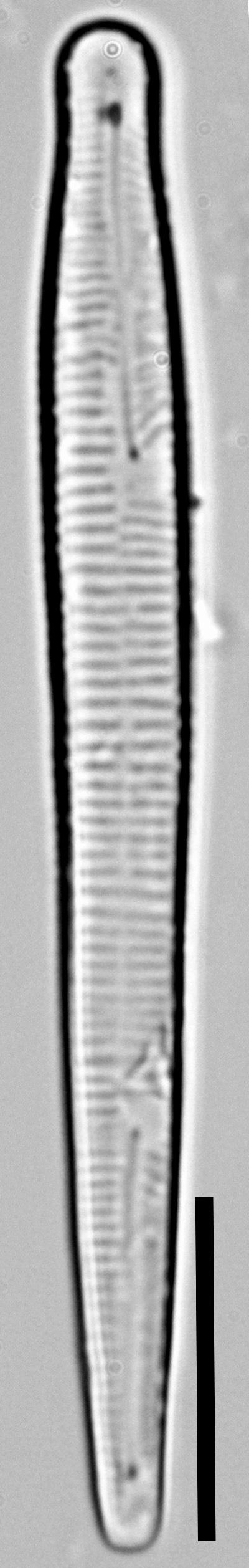Peronia fibula LM7