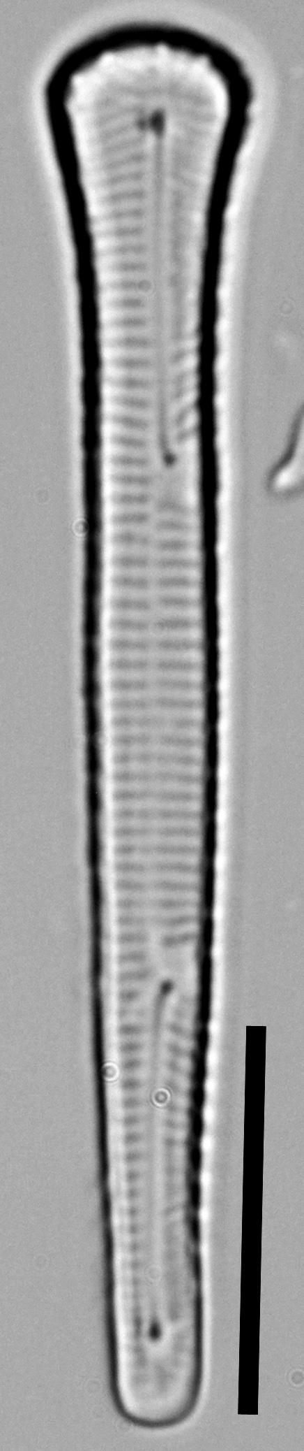 Peronia fibula LM5