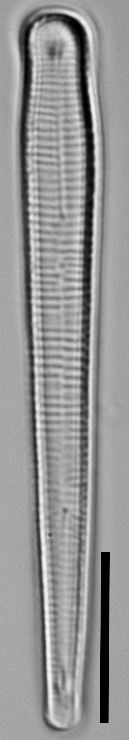 Peronia fibula LM4