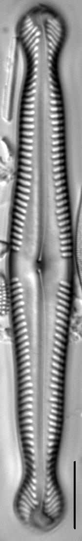 Pinnularia polyonca LM4