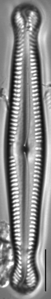 Pinnularia polyonca LM2