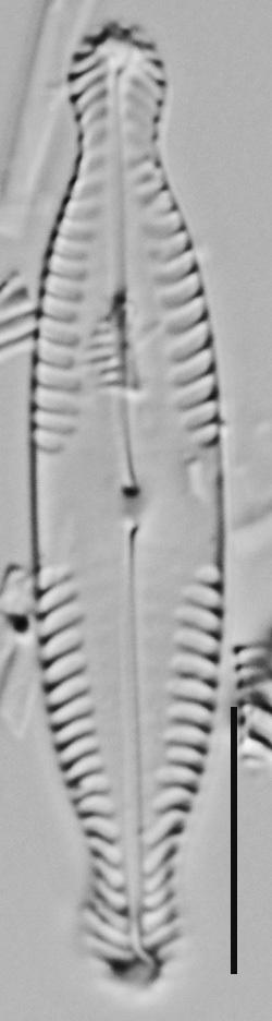 Pinnularia brauniana LM4