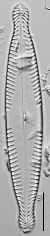 Pinnularia brauniana LM3