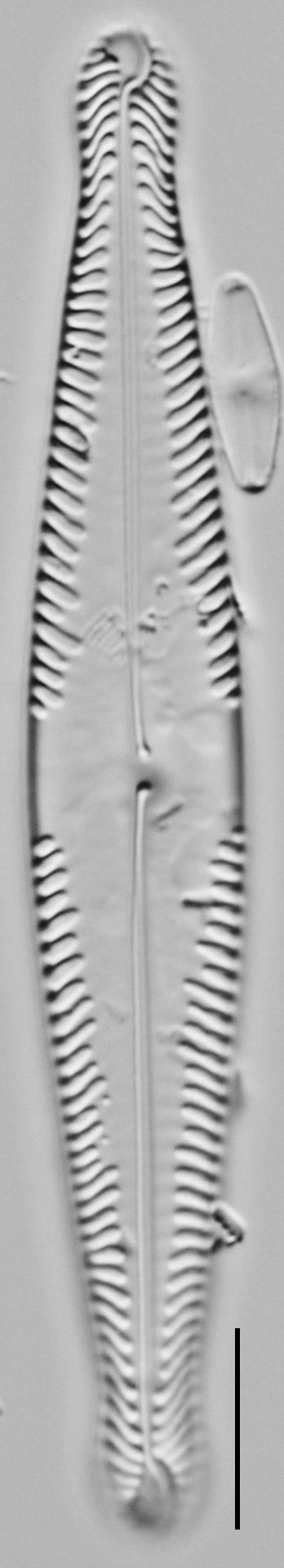Pinnularia brauniana LM2