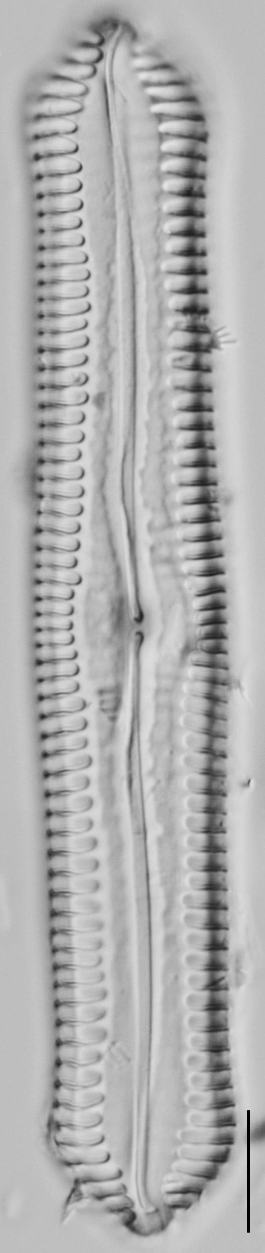 Pinnularia cuneicephala LM8