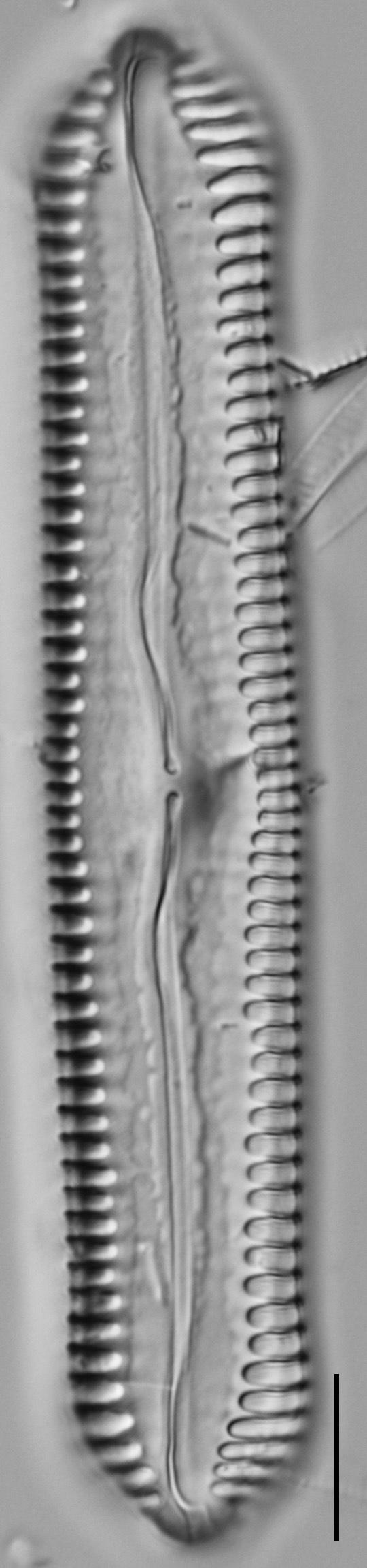 Pinnularia cuneicephala LM7