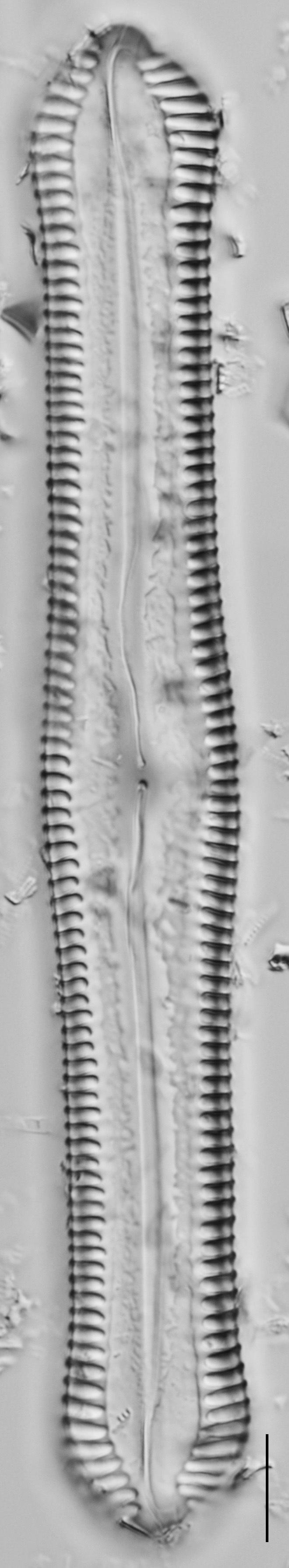 Pinnularia cuneicephala LM6