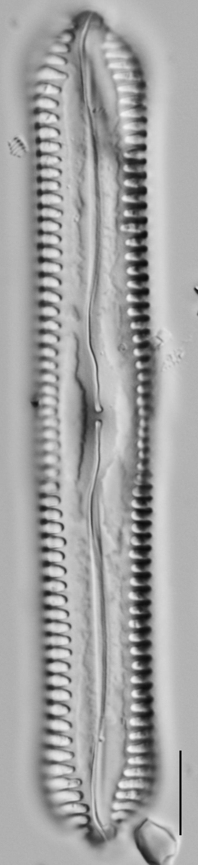 Pinnularia cuneicephala LM5