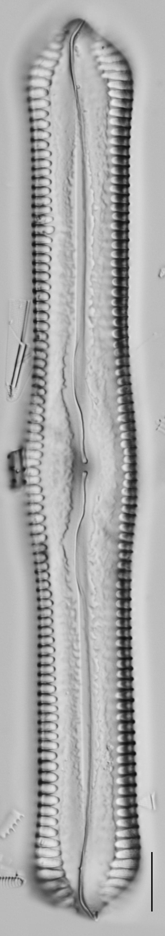 Pinnularia cuneicephala LM4