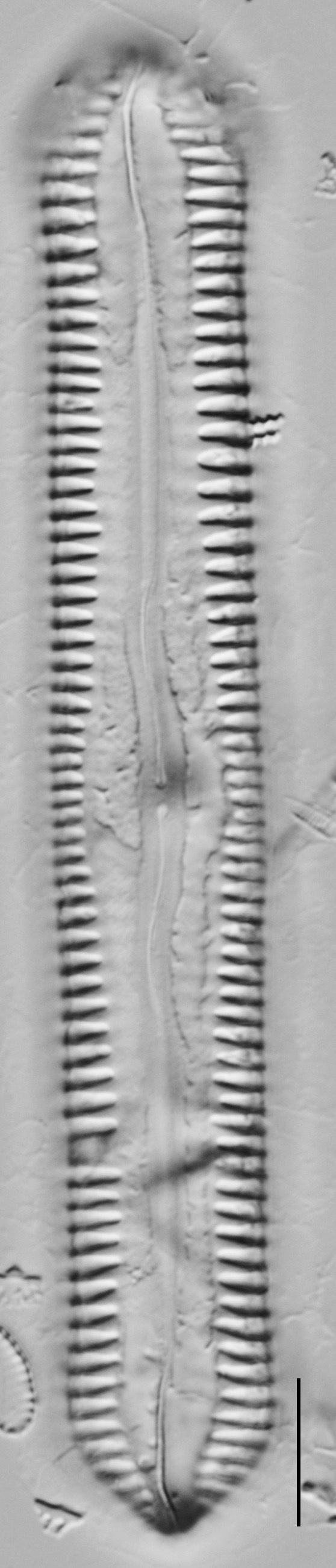 Pinnularia cuneicephala LM1