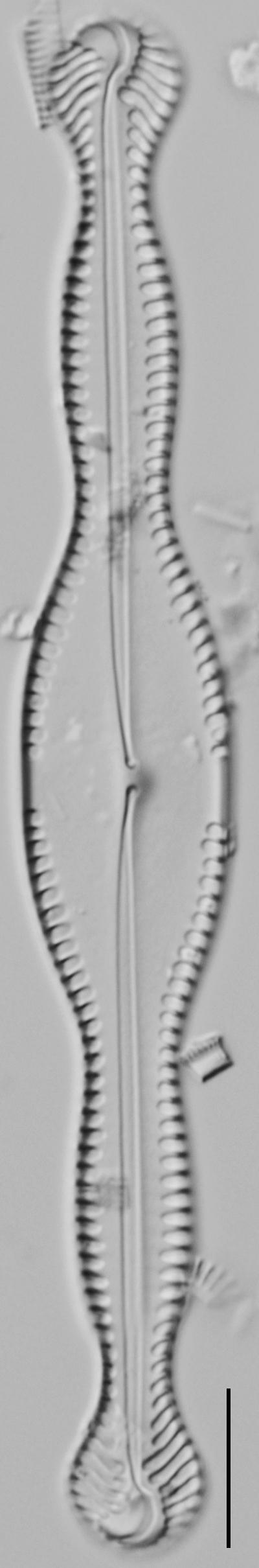 Pinnularia formica LM7