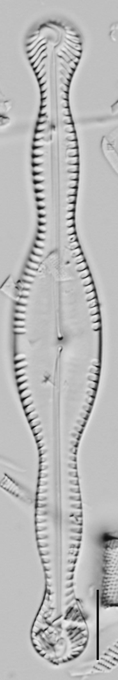 Pinnularia formica LM5