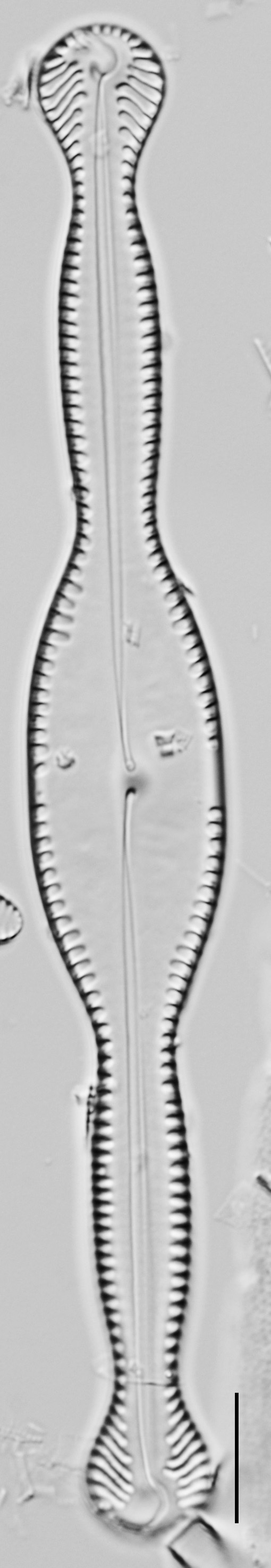 Pinnularia formica LM4