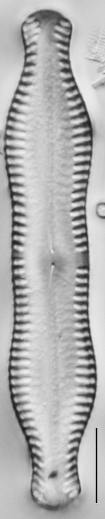 Pinnularia scotica LM7