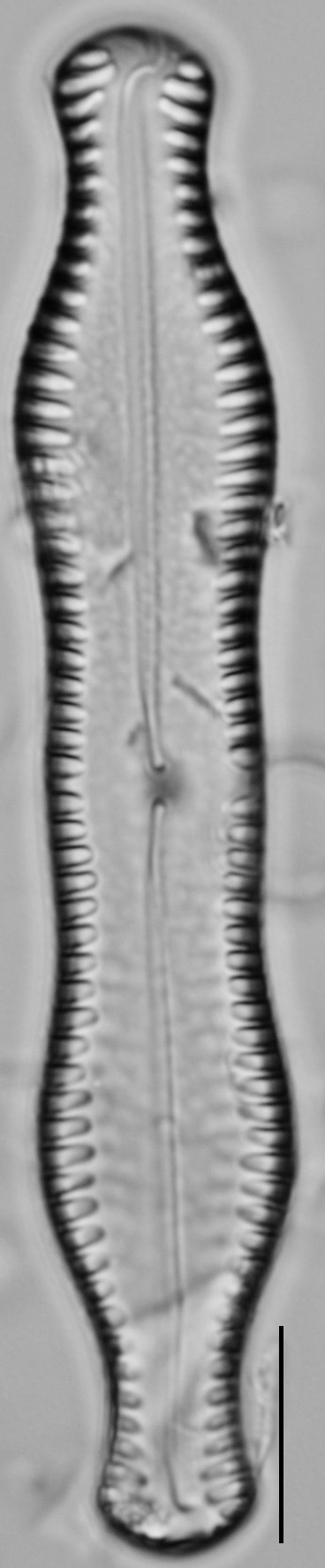 Pinnularia scotica LM3