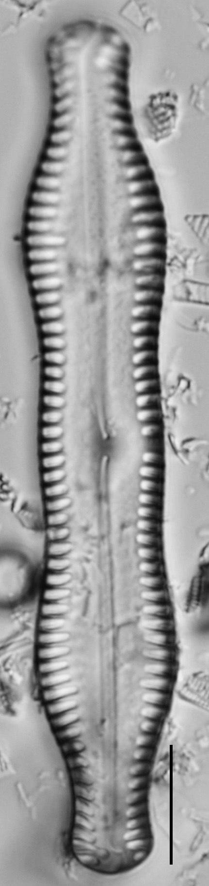Pinnularia scotica LM2