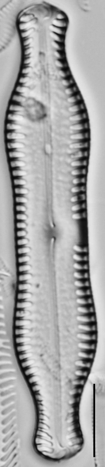 Pinnularia scotica LM1