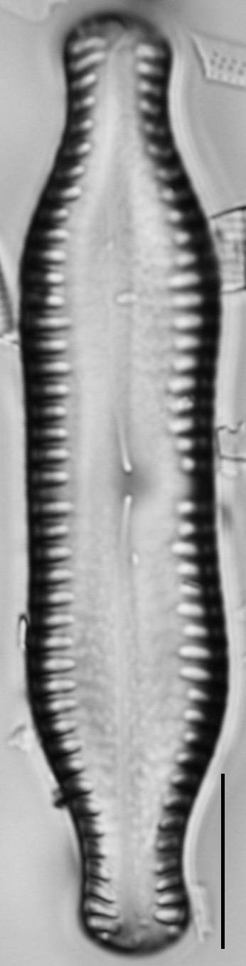 Pinnularia scotica LM4