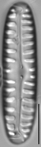 Pinnularia borealis LM4