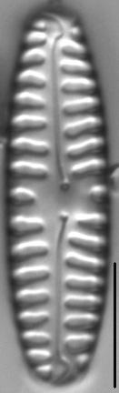 Pinnularia borealis LM2