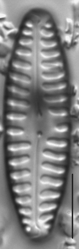 Pinnularia borealis var lanceolata LM7