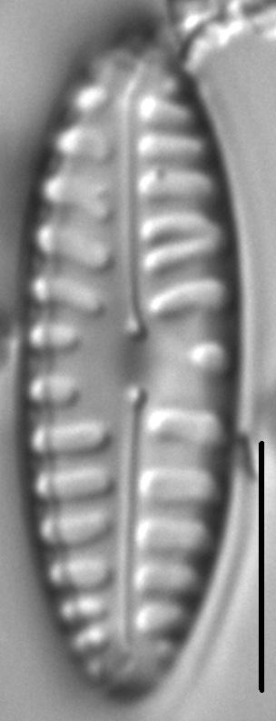 Pinnularia borealis var lanceolata LM1