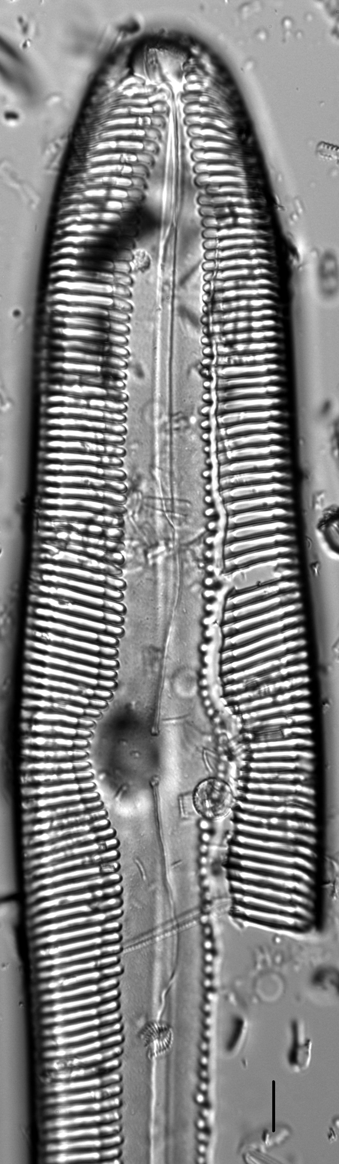 Pinnularia gigas LM7