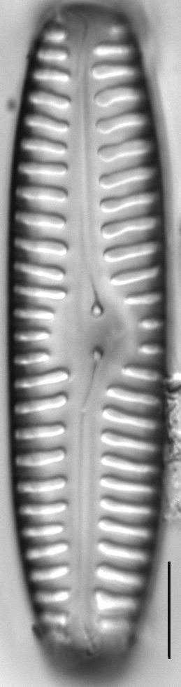 Pinnularia rabenhorstii LM7