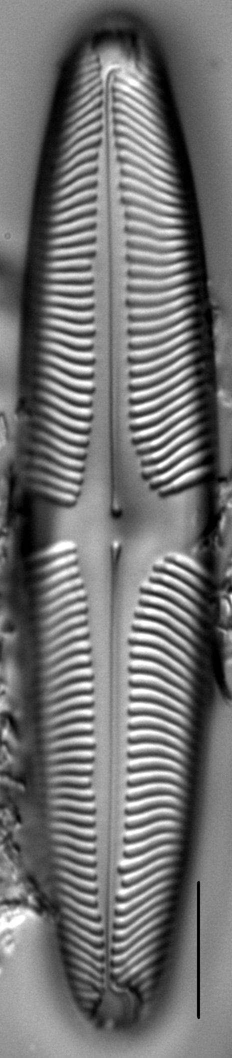 Pinnularia suchlandtii LM1