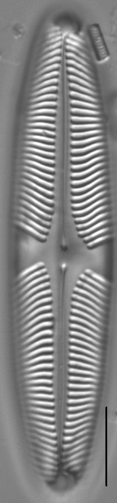 Pinnularia suchlandtii LM4