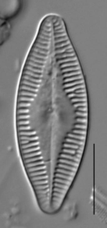 Planothidium holstii LM6