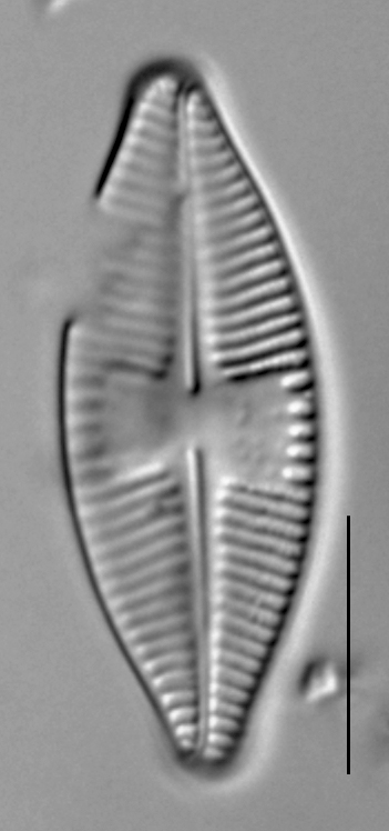 Planothidium holstii LM4