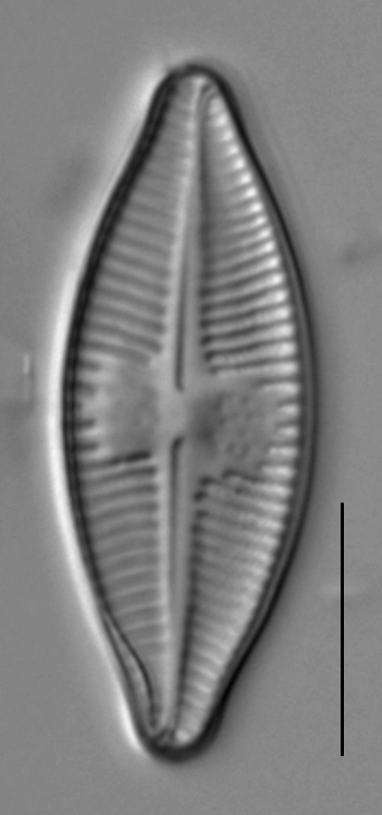 Planothidium holstii LM1