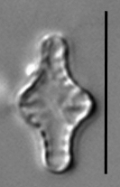 Pseudostaurosira pseudoconstruens LM2