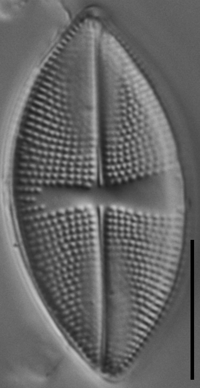 Psammothidium obliquum LM7