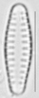 Pseudostaurosira neoelliptica LM5
