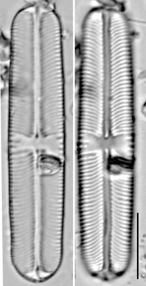 Sellaphora laevissima LM3