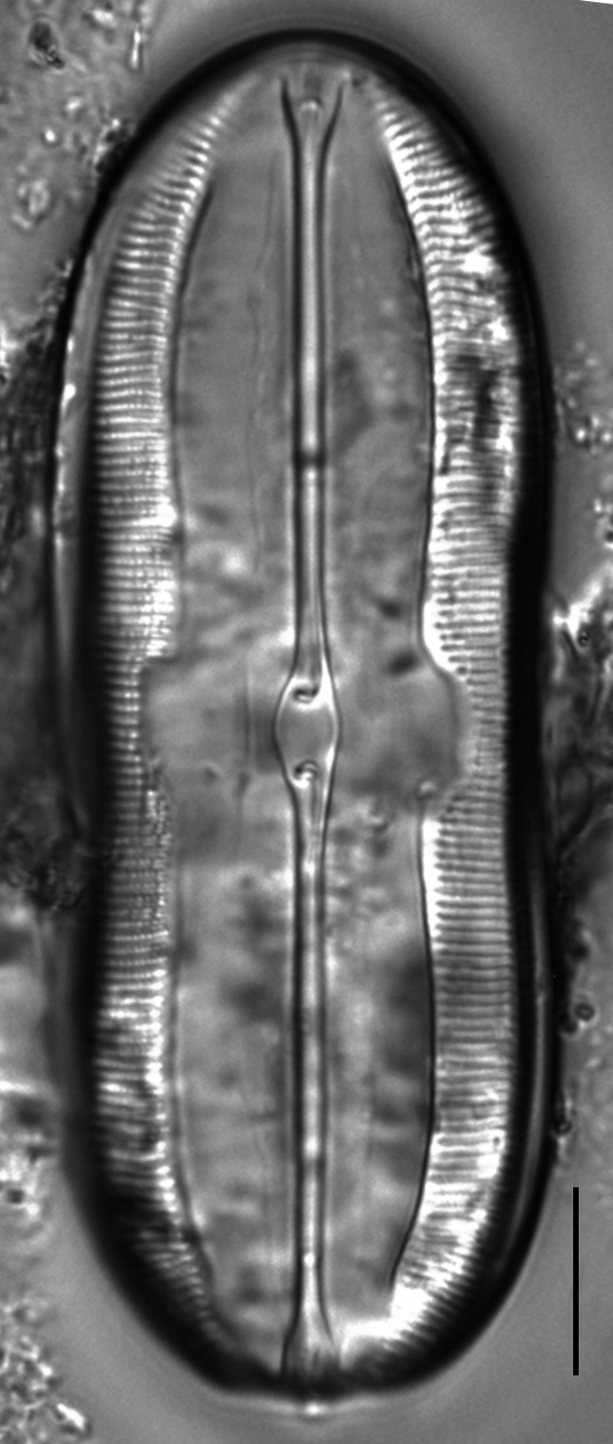 Sellaphora moesta LM1