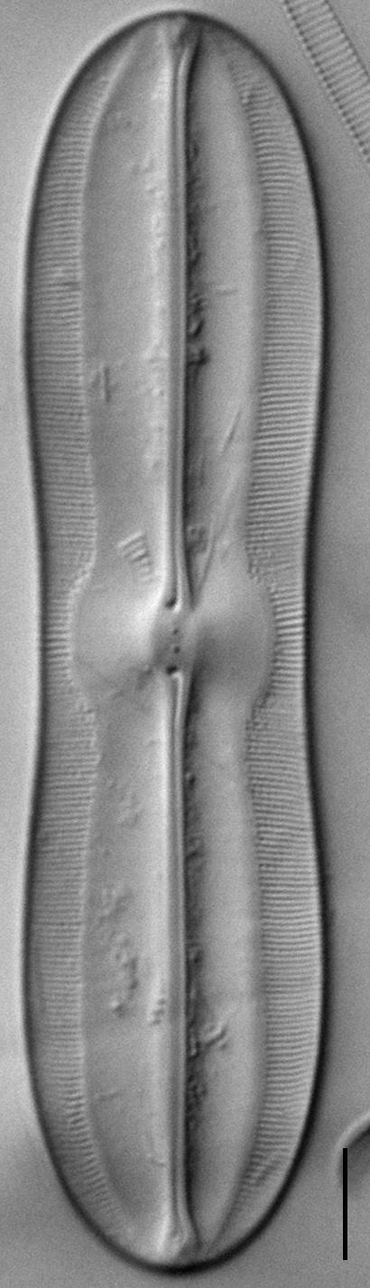 Sellaphora moesta LM7